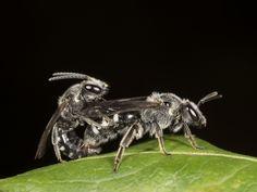 #macro #photography #bee #close-up #nicography
