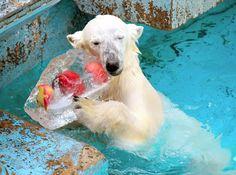 プレゼントされた氷にほおずりするホッキョクグマの「イッちゃん」=22日午前10時27分、大阪市天王寺区