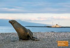Sandy Sea Lion in Galapagos