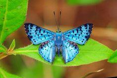Borboletas e Mariposas: Lasaia agesilas agesilas (Latreille, [1809])