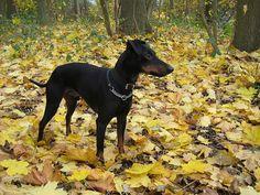 manchester terrier by midnightmarine, via Flickr