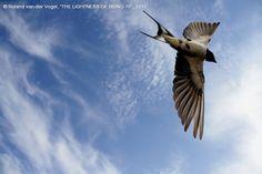 SWALLOW IN THE SKY  3 Photograph by Roland van der Vogel