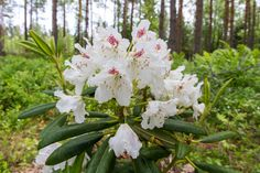 Rhododendron P. M. A. Tigerstedt, Finland