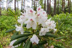 Rhododendron P. M. A. Tigerstedt, Finland