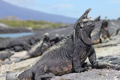 Marine iguanas in the sun on Isabela island of the Galápagos  Nina Day of Ipswich, Suffolk Picture: Nina Day