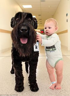 This giant Schnauzer in Australia helps children to walk as he does his hospital rounds. Love his ID.