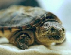 Common Snapping Turtle Images