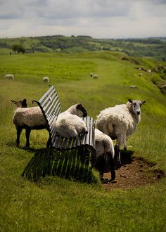 "Sheep ~ ""Taking in The View.""                        Cleeve Common, England.  (Photo By: Keith Britton Who Titled His Photograph: 'Baaa..st Seat in The House!' A Great Title!)"
