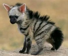"Aardwolf - loup de terre. is a small, insectivorous mammal, native to East Africa and Southern Africa. Its name means ""earth wolf"" in the Afrikaans / Dutch language. Scientific name: Proteles cristata"