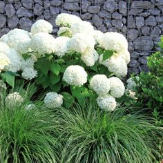 hydrangea garden care Annabelle is a shorter Hydrangea that is famous for its huge, snow-white blooms. One of the most popular Hydrangea, it will thrive in most parts of the country. Smooth Hydrangea, Hydrangea Shrub, Hortensia Hydrangea, Hydrangea Paniculata, Hydrangea Care, Hydrangea Not Blooming, White Hydrangea Garden, White Perennial Flowers, Incrediball Hydrangea