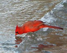 Northern cardinal -- a good way to help birds in winter is to keep fresh water available to them. An unfrozen bird bath attracts lots of visitors in winter. Pretty Birds, Beautiful Birds, Animals Beautiful, All Birds, Love Birds, Animals And Pets, Cute Animals, State Birds, Cardinal Birds