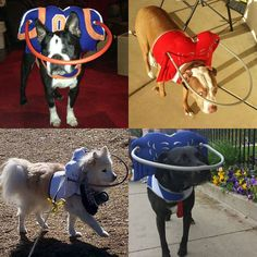 Visually Impaired Dogs Wearing Their Halos Courtesy In S Halo For Blind Facebook Page