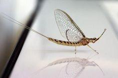 Life Cycle of a Mayfly | Mayflies | Espace pour la vie