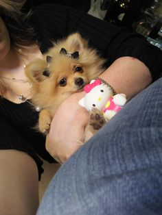 My adorable baby boy Gizmo. I love you boy <3 Toy pomeranian, just 4 months old here.
