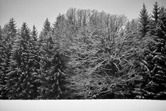 The old one #bw #blackandwhite #winter #trees #leica #monochrom
