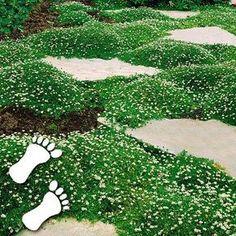 Sternmoos - begehbar - Vorgarten?