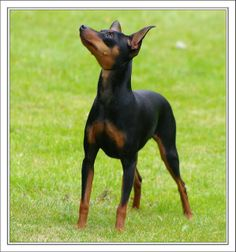 miniature pinscher | Miniature Pinscher | Flickr - Photo Sharing!