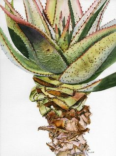 Aloe ferox Watercolor Plants, Watercolor And Ink, Botanical Drawings, Botanical Prints, Art Flowers, Flower Art, Protea Art, African Paintings, South African Art