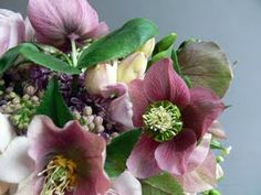 more hellebores - beautiful shades of rose!