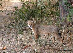 Reptiles, Mammals, Wildlife Of India, Jungle Cat, Big Cats, Panther, Kitty, Pets, Oriental