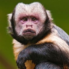 Yellow-breasted Capuchin (Cebus xanthosternos) is a Critically Endangered Neotropical monkey found in Brazil's Atlantic Forest region. The species is heavily hunted as bushmeat and for use as pets. Primates, Mammals, New World Monkey, Magnificent Beasts, Forest Habitat, Orangutan, Chimpanzee, Animals Of The World, Animals Beautiful