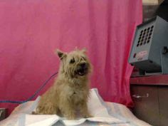 Help needed now!!! On kill list! Only $32 pledged. Share for rescue NOW!  BERNICE - ID#A586011 (available 2/15) I am a female, tan Cairn Terrier mix. Approx 5 yrs old http://www.petharbor.com/pet.asp?uaid=SBCO1.A586011 I have been at the shelter since Feb 10, 2014. For more info call: San Bernardino County - Devore Shelter at (909) 386-9820 https://www.facebook.com/118795328205474/photos/a.407713432646994.97653.118795328205474/590848584333477/?type=1&theater