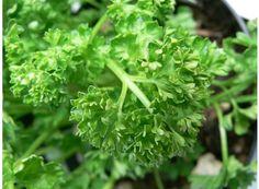 Rostlina   Petržel naťová, Petroselium crispum convar. vulgare Parsley, Herbs, Herb, Medicinal Plants