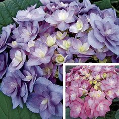 """""""Double Delights Expression"""" Hydrangea, with Double blooms on large mophead flowers, Blooms Spring to Fall, in colors of pink to blue tones, flowers stay upright during blooming. Bought in Spring 2012 at Nuts and Bolts. Planted in Hydrangeas bed under redbud trees."""