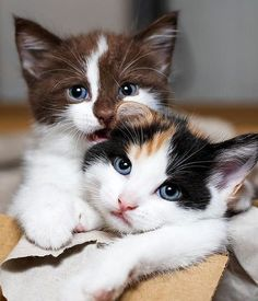 Amour de chats 🧡🧡🧡 chats mignons chats calin chats et chatons Kittens And Puppies, Cute Cats And Kittens, I Love Cats, Cool Cats, Kittens Cutest, Cute Baby Animals, Animals And Pets, Image Chat, Calico Cats