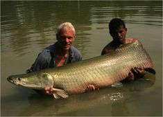 The Arapaima is one giant muscle. If it hits you it is like you got hit by a car. That's what I call DEADLY!!!