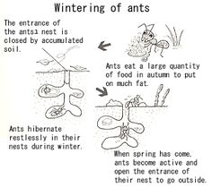 How do ants pass the winter?
