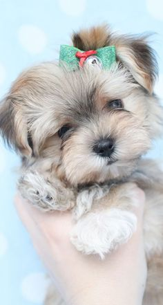 Adorable Morkie (Maltese/Yorkie X) puppy at TeaCups and Puppies Boutique. Morkie Puppies For Sale, Teacup Puppies, Cute Dogs And Puppies, Little Puppies, I Love Dogs, Teacup Morkie, Poodle Puppies, Adorable Puppies, Lab Puppies