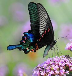 Mariposa Chinese Peacock