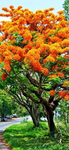 Royal Poinciana - these can be found on Sanibel and Captiva and are beautiful!