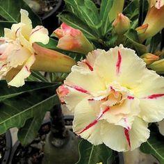 Desert Rose Adenium 'Luang Siam'