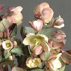 'Ivory Prince' Helleborus hybrid 'Ivory Prince' has dark red-pink buds that bloom creamy white and age to a mix of burgundy and light green. Blooms Opens creamy white from late winter to early spring Size 12 to 15 in. tall and wide Cold-hardy USDA zones 4 to 9 Heat-tolerant AHS zones 9 to 1 Source Plant Delights Nursery, Inc.