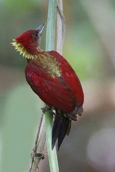 Banded Woodpecker