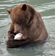 Salmon Runs, Grizzly Bear Dreams--grizzly with salmon