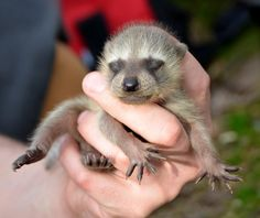 An adorable rescued baby raccoon - like better at this age than when they grow up for sure! Cute Little Animals, Cute Funny Animals, Baby Animals, Fruit Animals, Animal Babies, Small Animals, Wild Animals, Baby Raccoon, Baby Otters