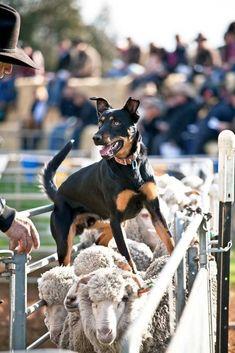 Australian Kelpie - Cattle and Sheep Working Dog Australian Sheep Dogs, Australian Animals, Australian Shepherd, Farm Dogs, Herding Dogs, Dog Years, Service Dogs, Australia Travel, Visit Australia