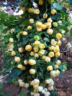 Best white varieties - Page 2 - Hot Pepper Talk Organic Vegetable Seeds, Organic Seeds, Organic Vegetables, Balcony Plants, Outdoor Plants, Chile Picante, Chilli Plant, Pepper Seeds, Bonsai Garden