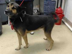 This DOG - ID#A467336 - URGENT - Harris County Animal Shelter in Houston, Texas - ADOPT OR FOSTER - German Shepherd Dog mix - at the shelter since Sep 01, 2016.