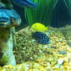 African Cichlids On Pinterest Freshwater Aquarium