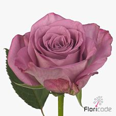 Tanzanite Roses are lilacy purple & usually available all year round. Plan for your upcoming wedding or event now with Triangle Nursery | Browse our range of lilac & purple wedding & event flowers | .