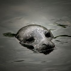 Seal. cold salt water under and around the eyes