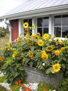 Sunflowers in a watering trough