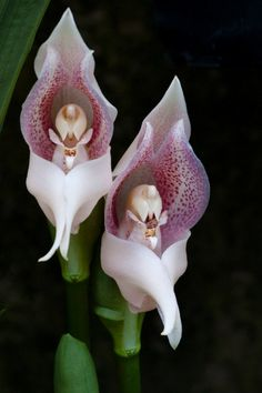 Orchid Flowers. Praying Angels, amazingly intricate internal morphology by Ann-Belinda Honablezh