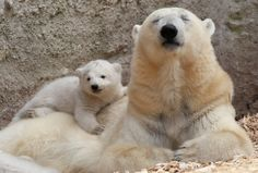 Twin Polar Bear Cubs At Munich Zoo Are The Cutest Things Ever