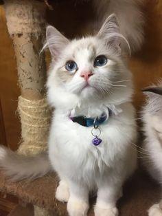 Welcome to Genotype Cats - Ragdoll Cats Ragdoll Cats, Kittens, Cats With Big Eyes, Rage, Pets, Animals, Shop, Domestic Cat, Ragdoll Kittens
