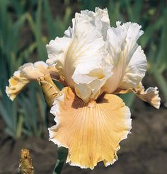 This ruffled apricot is charming indeed. Its peach tones subtly infuse the creamy standards. The ruffled and flared falls are smoothly finished in light apricot-peach. Tangerine beards and a creamy...